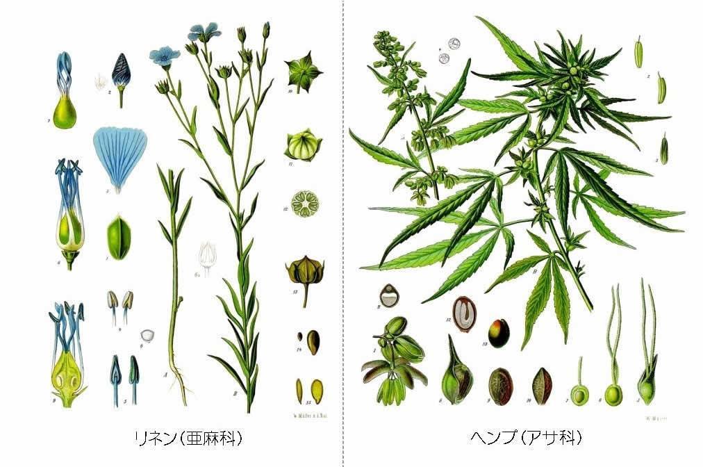 ヘンプとリネン ヘンプとリネン(亜麻)・ラミー(苧麻)の違い。麻の種類について。 | 麻福ヘンプ