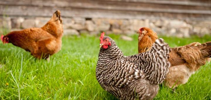 hemp-diet-chickens-10-24-720x340
